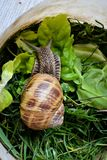 Snail in plastic cup. Curious snail on green grass and green salad Royalty Free Stock Images