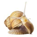 Curious snail stock photography