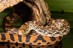 Curious snake Royalty Free Stock Photography