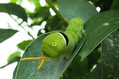 Snake-caterpillar. A curious snake-looking caterpillar Royalty Free Stock Images