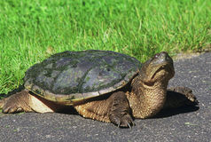Curious Snapping Turtle On A Pathway Royalty Free Stock Photography