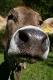 Curious snout. The curious snout of a Swiss cow stock photo