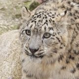 Curious Snow Leopard Stock Photos