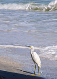 A curious snowy egret Stock Photo