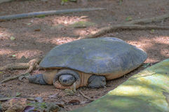 Curious Softshell Turtle Stock Photo