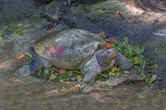 Curious Softshell Turtle Royalty Free Stock Photo