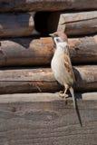 The curious sparrow Royalty Free Stock Photos