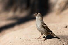 The curious sparrow Stock Photo