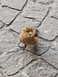 Curious sparrow royalty free stock images