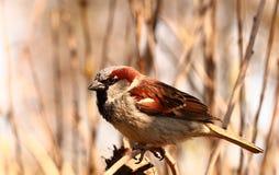 Curious sparrow Stock Photo