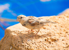 Curious sparrow. Stock Image
