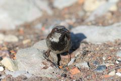 Curious sparrow on stones Royalty Free Stock Photography