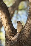 Curious sparrow on a tree branch Royalty Free Stock Image