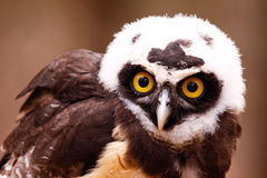 Curious Spectacled Owl. Spectacled Owls are a unique looking owl found in tropical regions of Central and South America. They are tree nesters, prefering to hunt Royalty Free Stock Images
