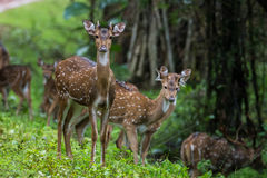Curious spotted deers. Spotted deers looking curiously at camera Stock Photos