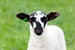 Curious spring lamb staring at the camera. Lamb staring at the camera with a bright green background of grass Stock Photos