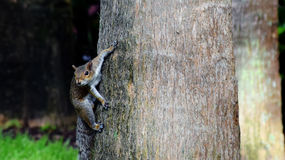 Curious squirell Royalty Free Stock Photography