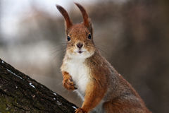 Curious squirrel Stock Image