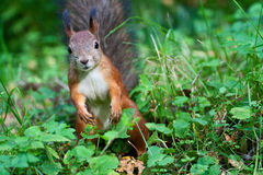 Curious squirrel. Portrait of curious red squirrel at the green glade royalty free stock photos