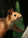 Curious squirrel Royalty Free Stock Images