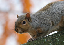 Curious squirrel. This is a little curious Grey Squirrel photograph in a park in Quebec, Canada Stock Photo
