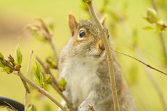Curious Squirrel Stock Photo