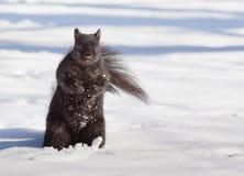 Curious Squirrel Royalty Free Stock Photos