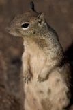 Curious Squirrel. Squirrel on hind legs, shallow dof focused on eyes Stock Photo