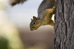 Curious squirrel. A fox squirrel on a tree Royalty Free Stock Photos