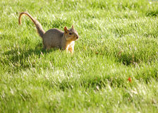 Curious Squirrel Stock Images