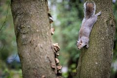 A cheeky squirrel in a tree at a park in the Kent countryside stock photo