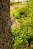 Curious squirrel climbing a tree looking to camera stock images