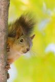 Curious squirrel close up Stock Photo