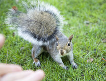 Curious Squirrel Stock Photography