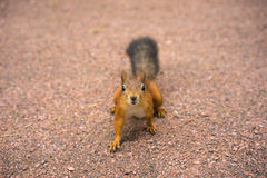 Curious squirrel. Closeup. Squirrel in the park Royalty Free Stock Photo