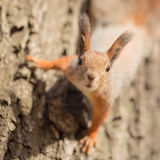 Curious squirrel closeup Royalty Free Stock Image