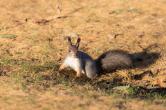 Curious squirrel on the fall foliage Stock Image