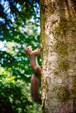 Curious squirrel in a forest Stock Photos