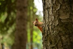 Curious squirrel looking out of tree in park Royalty Free Stock Image