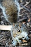 Curious Squirrel Royalty Free Stock Photography