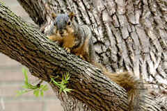A Curious Squirrel Stock Photo