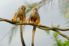 Curious squirrel monkeys on a tree Stock Images