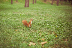 Curious squirrel in the park Royalty Free Stock Images