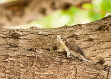 Curious squirrel in the  park. Stock Photography