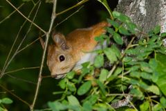 A curious squirrel peeps out from behind the tree branches stock photo