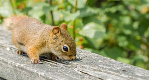 Curious squirrel Royalty Free Stock Image