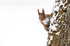 Red squirrel searching for food sits on tree trunk on white snow. Curious squirrel searching for food sits on tree trunk on white snow background Stock Photography