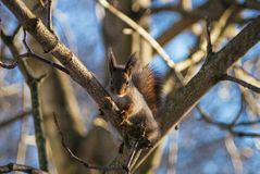 Curious squirrel. Squirrel sitting at the branch and looking at the camera Stock Photo