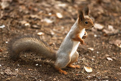 A curious squirrel standing on hind legs Stock Photos