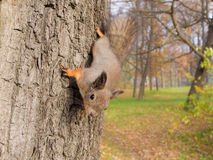 Curious squirrel Stock Images